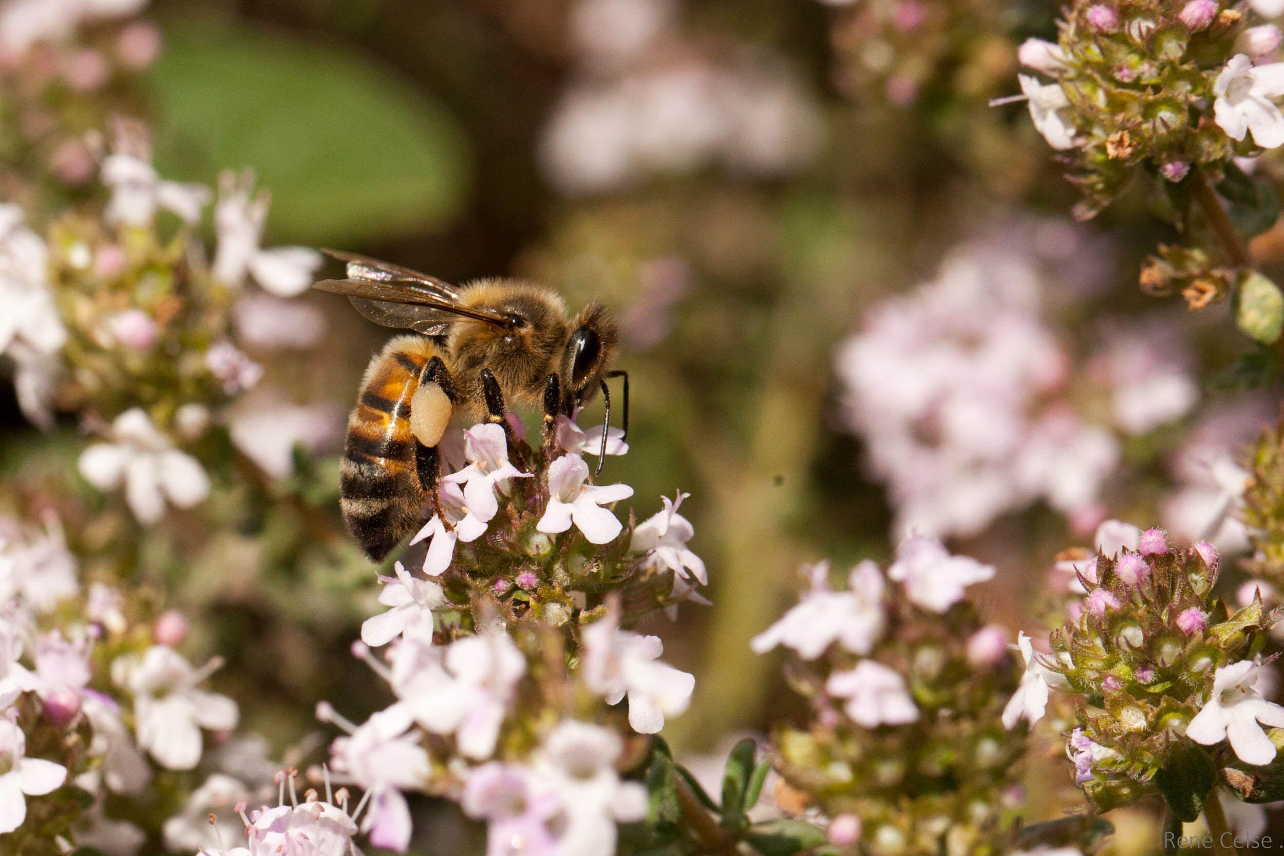 abeille-sur-thym-214C3D4E4-45BE-979A-0BDA-25920F7F5118.jpeg