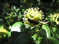 Fin d'été, abeille sur fleurs de lierre