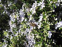 Rosmarisnus officinalis , régal des abeilles