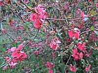 Cognassier du japon. Rosaceae