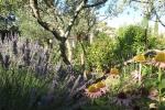 lavandes-rudbeckias-oliviers-au-dela-la-maison-dapiflore-20151202-1734393197FB2D767A-2A00-98FA-4A3B-F7AE015D5D25.jpg