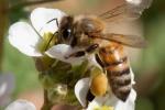 abeille-sur-diplotaxisDD77A8C4-C325-A873-D868-FA98650DD46F.jpeg