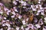 abeille-sur-thym37317C57-663D-AA87-2AD1-3DE4B081BF4B.jpeg